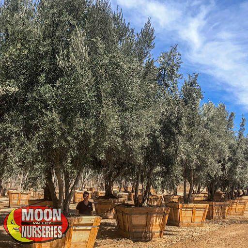 Manzanillo Olive Tree