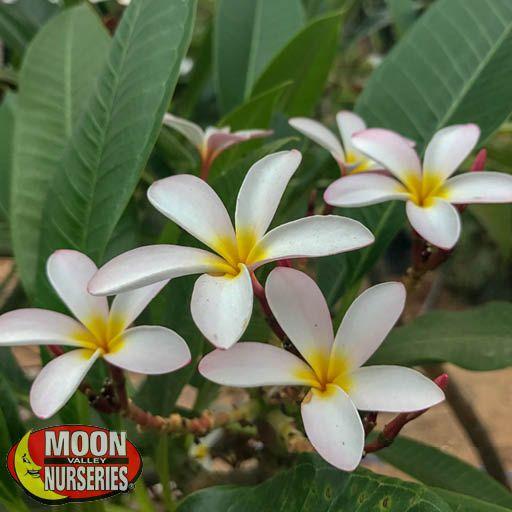 Plumeria Bloom White